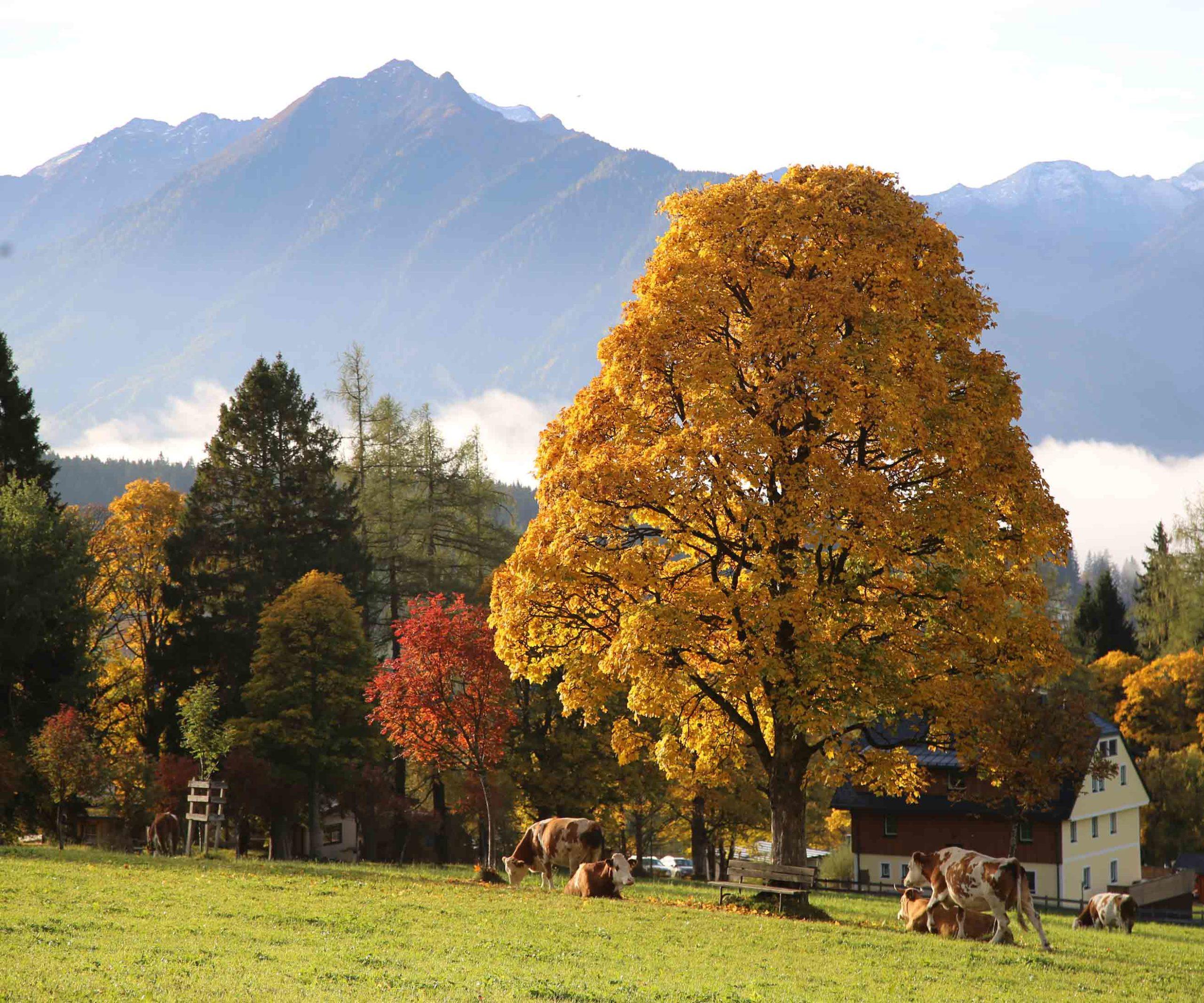 Kühe Herbst